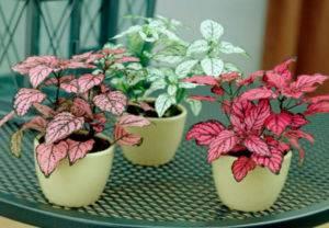 Комнатный цветок с красными цветами листьями 1