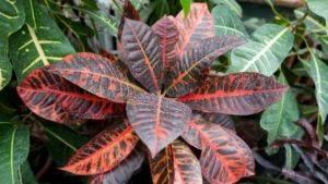 Как называется комнатный цветок с красными листьями? 156