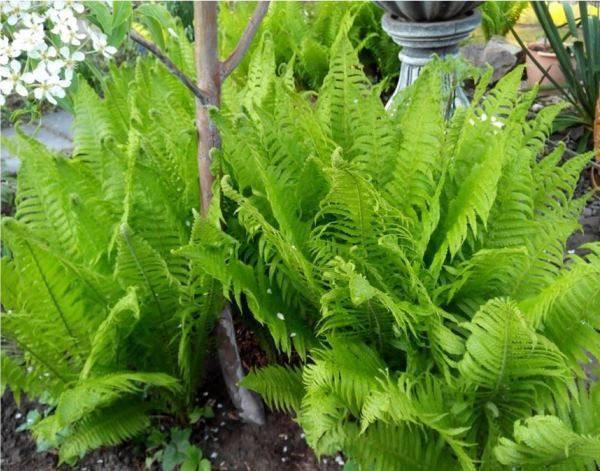 Как посадить папоротник в саду