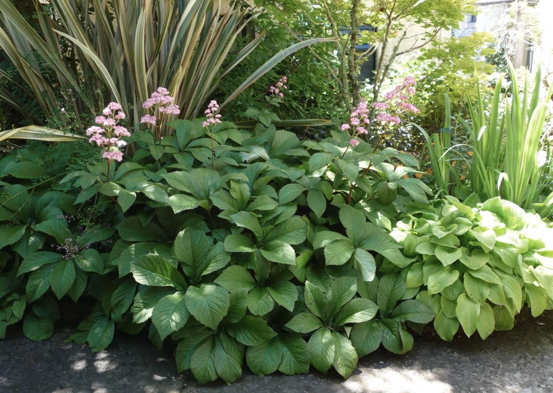 Растение роджерсия