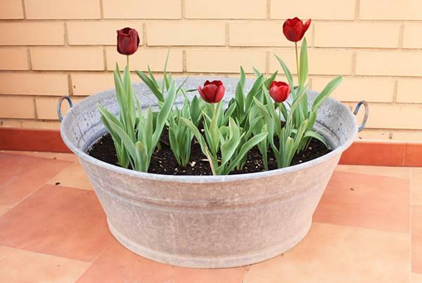 Когда высаживать тюльпаны под зиму