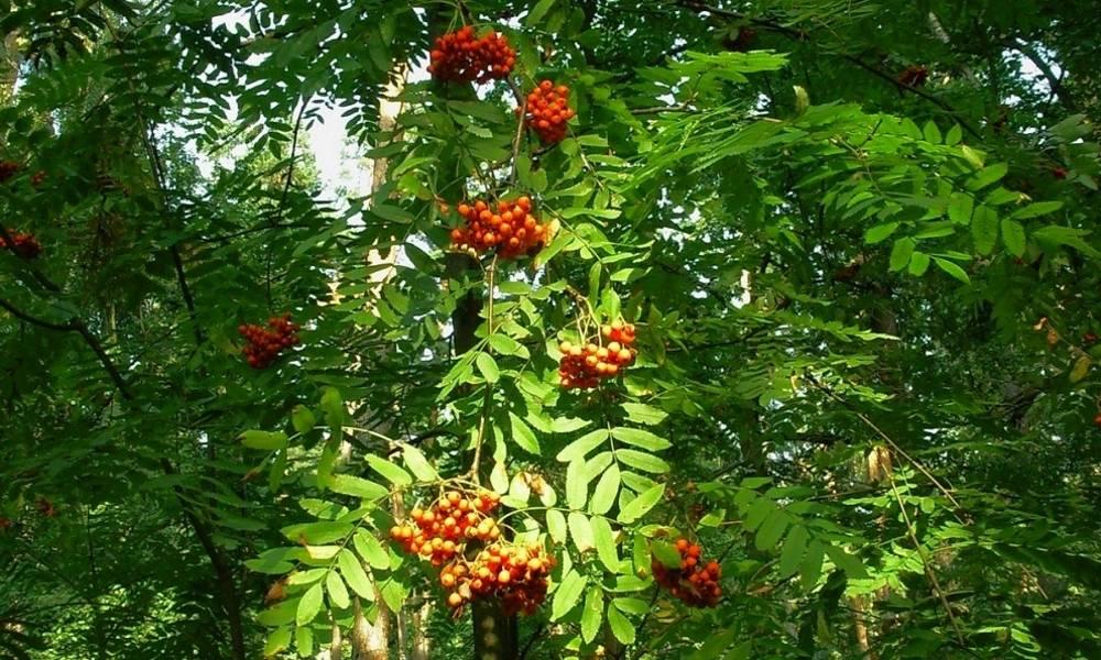 Растение мужегон