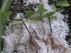 Выращивание клематиса