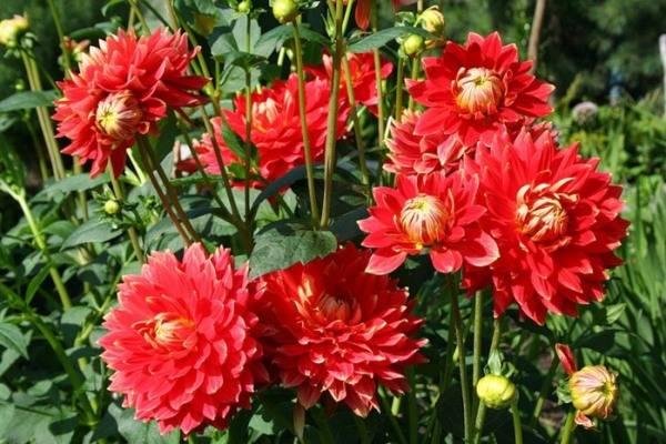 Садовые цветы на букву г