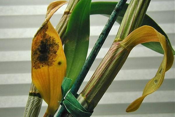 У орхидеи пожелтели листья что делать