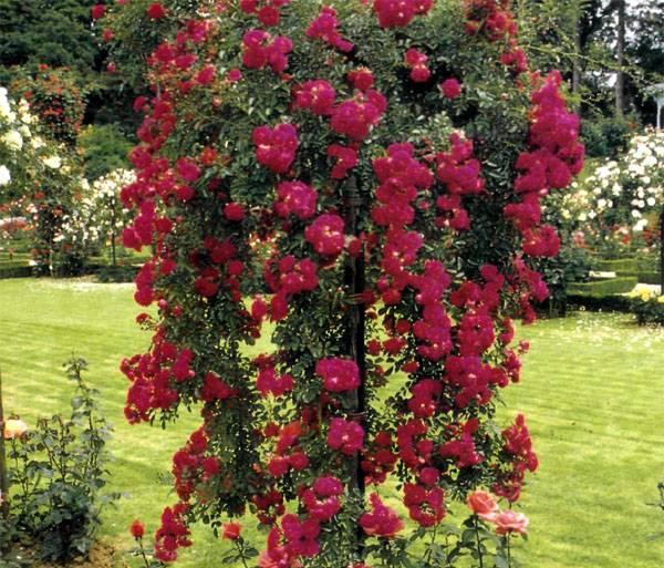 Почва для розы в саду