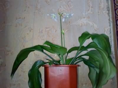 Выращивание бегонии из клубня в домашних условиях
