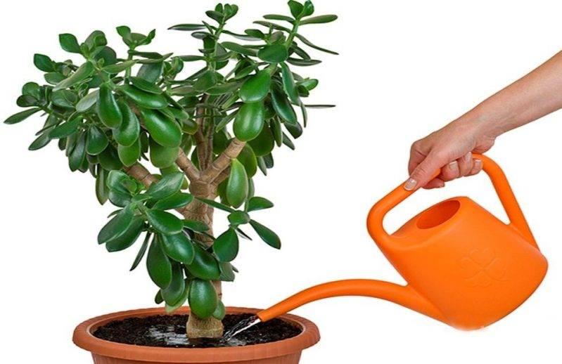Растение похожее на денежное дерево