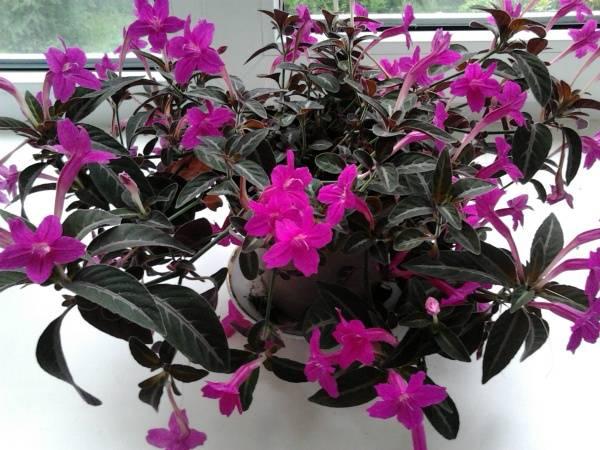 Самое красивое комнатное растение