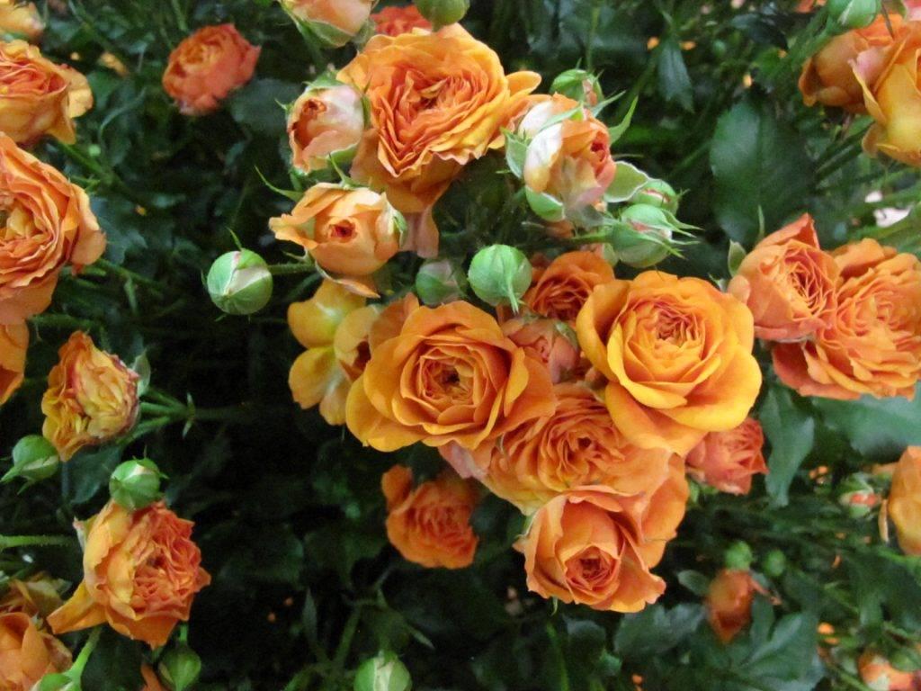 Желтая роза сорта