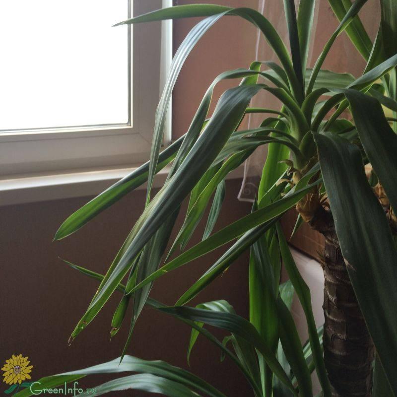 Почему у юкки скручиваются листья