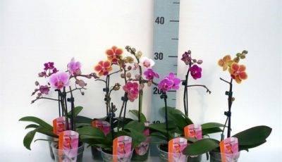 Фаленопсис как обрезать после цветения