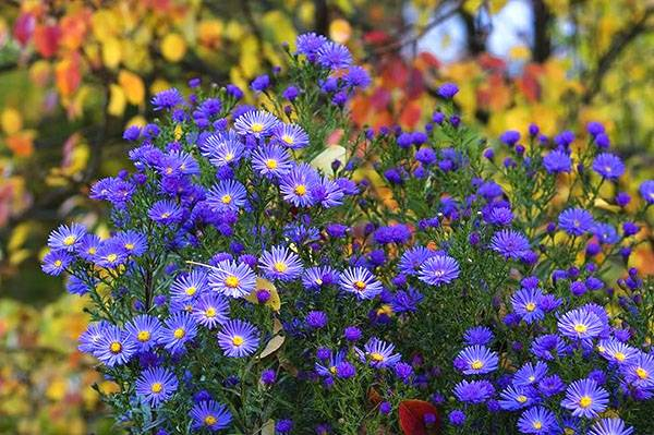 Мелкие синие цветочки