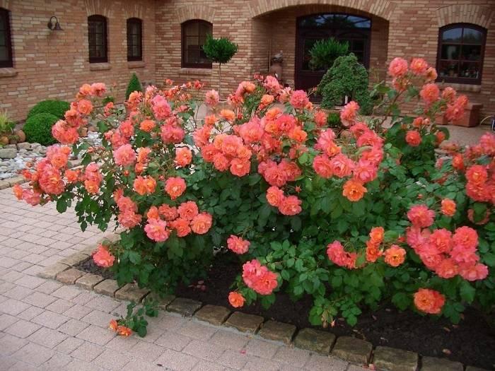 Роза золотая душистая
