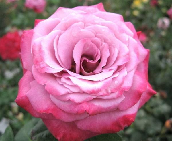Парадайз роза