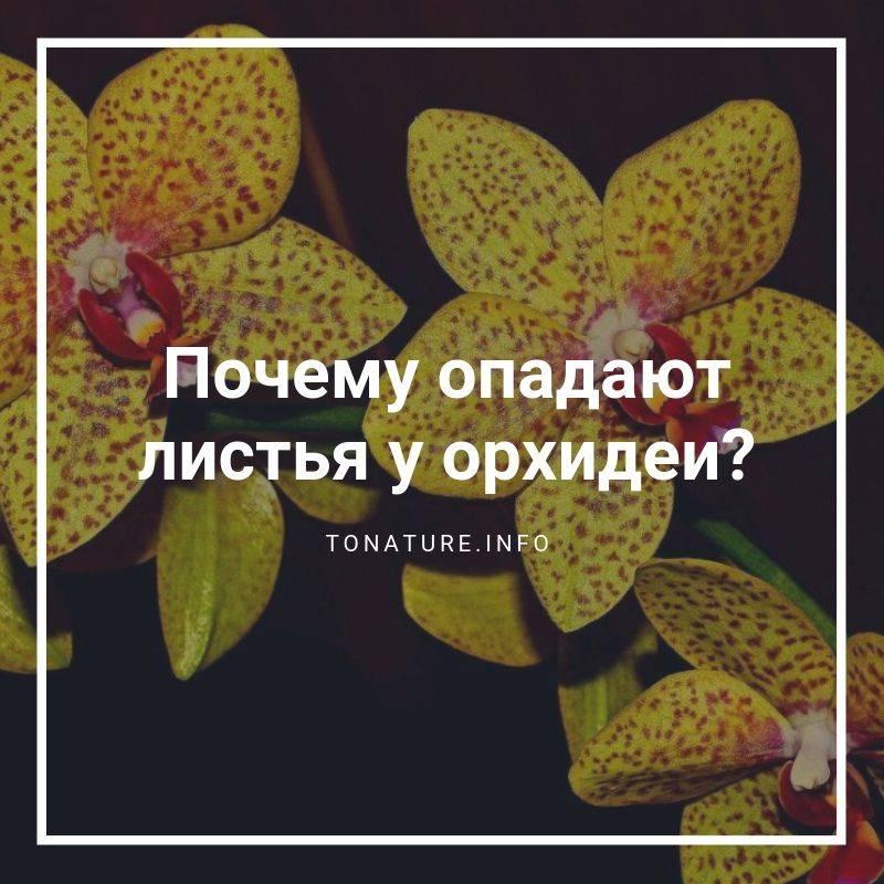 Почему у орхидеи опадают листья