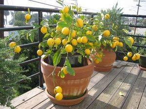 Новозеландский лимон