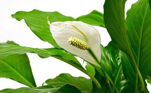 Комнатные цветы женское счастье как ухаживать