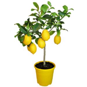 Паутинный клещ на лимоне