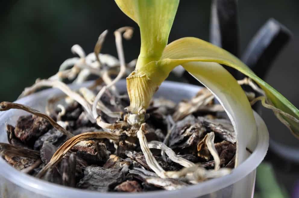 Тля на орхидее как избавиться