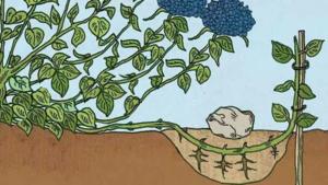 Как размножить гортензию черенками