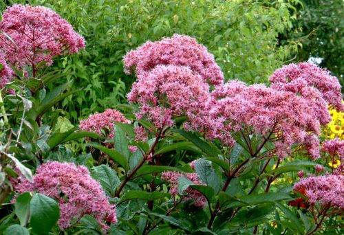 800px-eupatorium_wasserdost_grower_mr_vogel