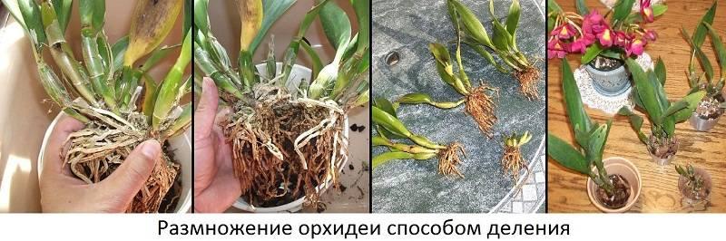 Как вырастить орхидею из черенка