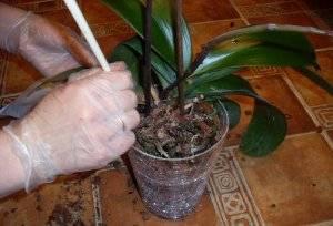Строение орхидеи