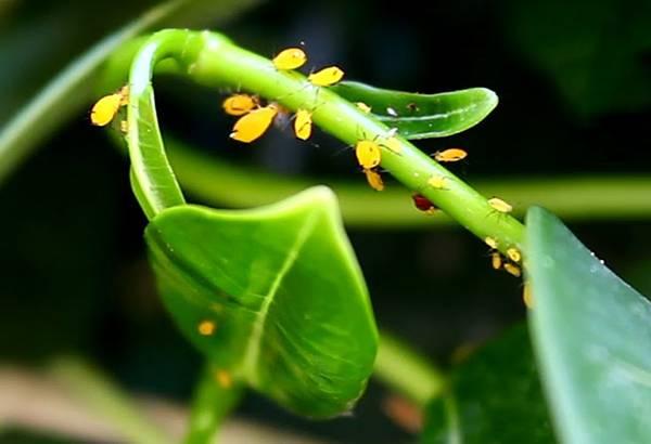 Тля на орхидеях как бороться