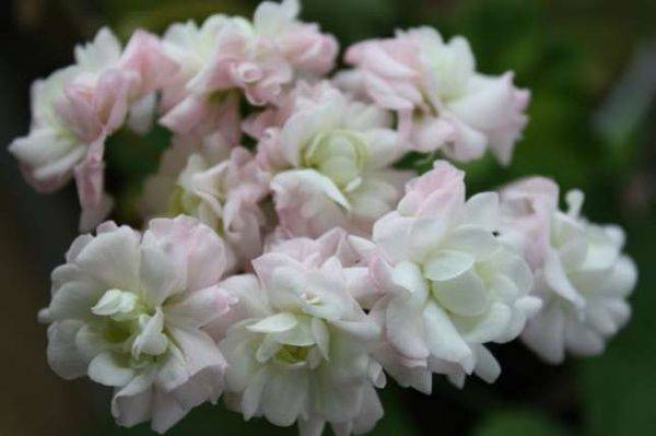 Пеларгония вектис розебуд