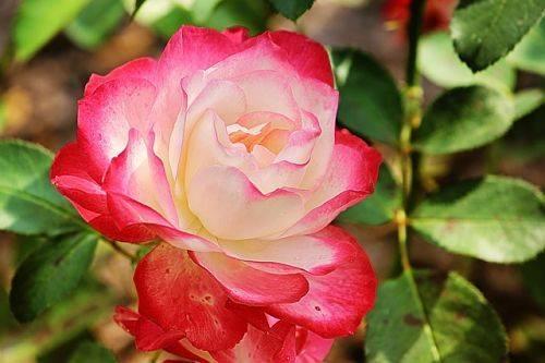 Когда и чем подкармливать розы весной