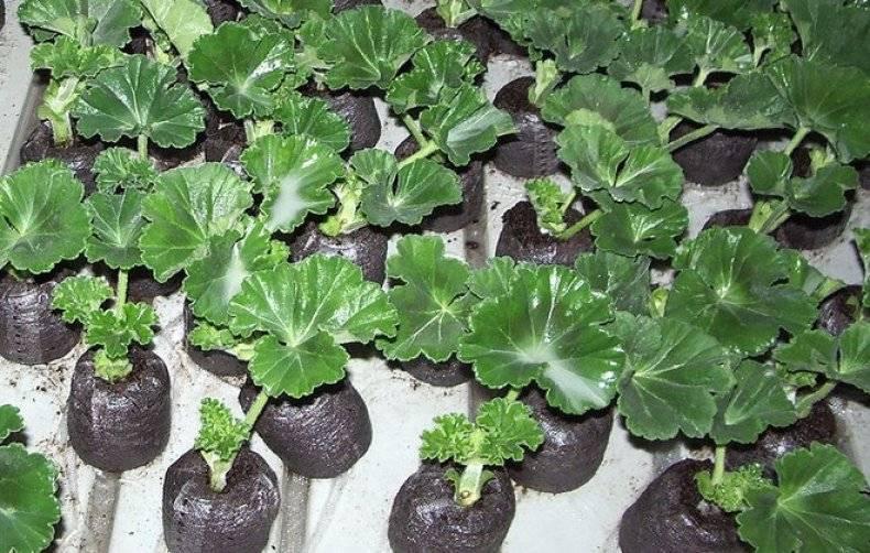 Как вырастить пеларгонию из семян