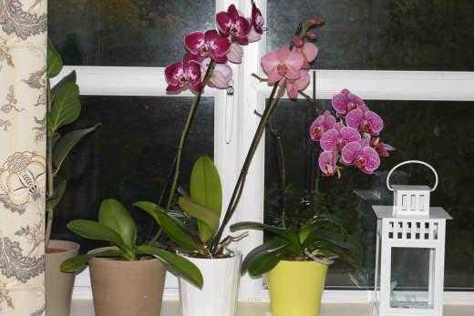 Детки у орхидеи фаленопсис