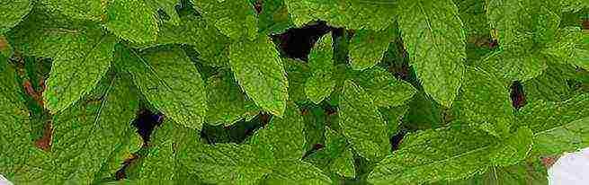 Выращивание мяты на подоконнике