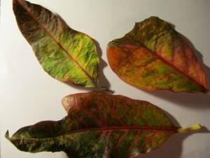 Кротон уход в домашних условиях опадают листья