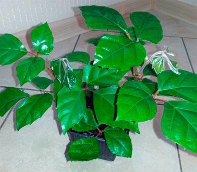 Берёзка комнатное растение - уход