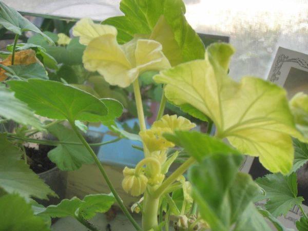 Почему скручиваются листья у герани комнатной