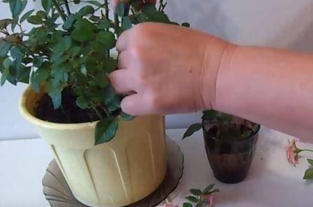 Как правильно обрезать домашнюю розу