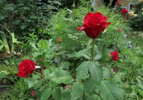 Супер розы