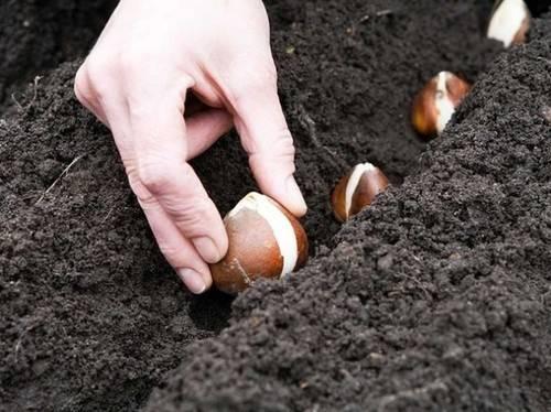 Когда нужно сажать тюльпаны осенью