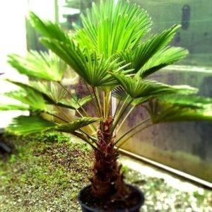 Домашнее растение похожее на пальму