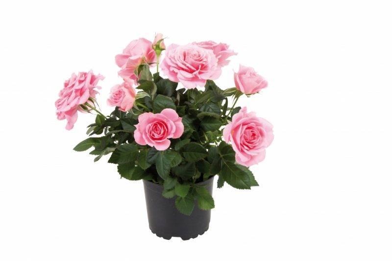 Розы уход