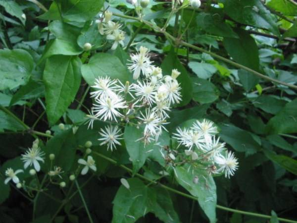 Клематис жгучий мелкоцветковый белый