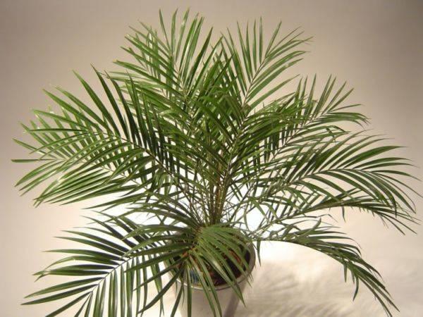 Домашний цветок с листьями как у пальмы 159
