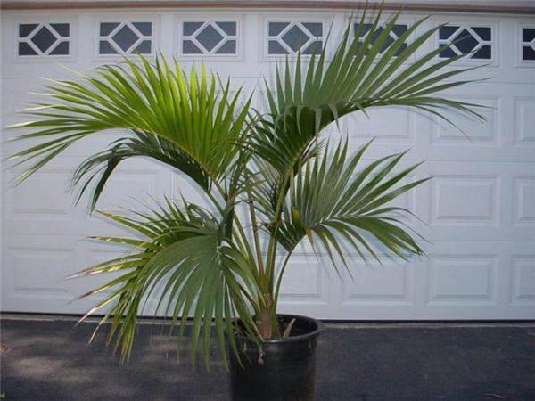 Домашний цветок с листьями как у пальмы 92