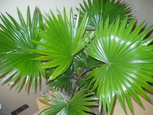 Домашний цветок с листьями как у пальмы 104