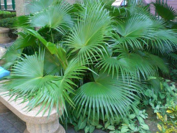 Домашний цветок с листьями как у пальмы 160