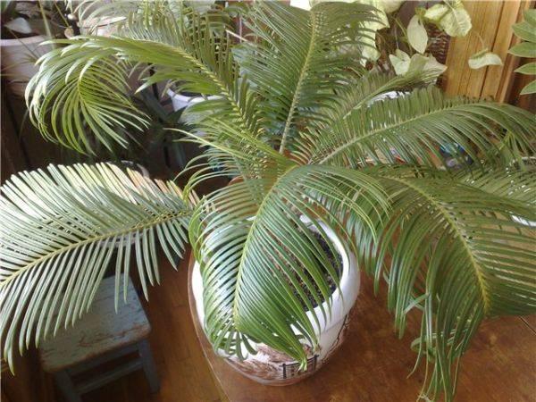Домашний цветок с листьями как у пальмы 161