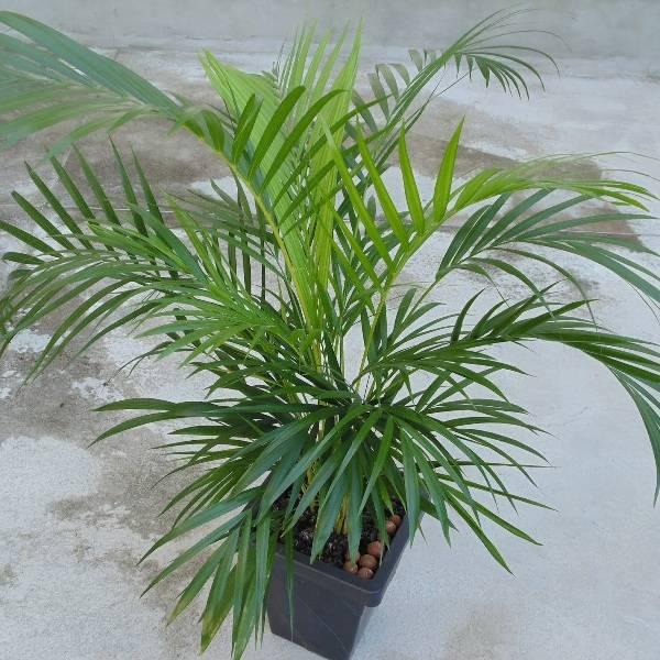 Домашний цветок с листьями как у пальмы 2