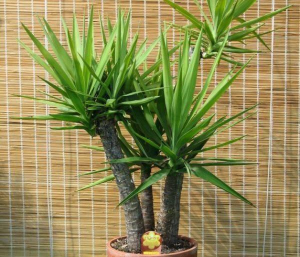 Домашний цветок с листьями как у пальмы 176